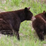 Beautiful Brown Black Bear up by Whistler